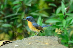 Male hill blue flycatcher Royalty Free Stock Image