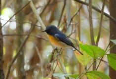 Male hill blue flycatcher Royalty Free Stock Photo