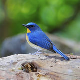 Male Hill Blue Flycatcher Stock Image