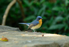 Male hill blue flycatcher Royalty Free Stock Photography