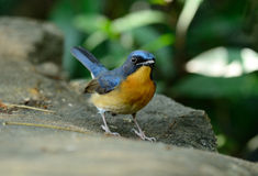 Male hill blue flycatcher Stock Images