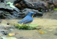 Male hill blue flycatcher Royalty Free Stock Photography