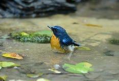 Male hill blue flycatcher Royalty Free Stock Image