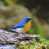 Male Hill Blue Flycatcher Royalty Free Stock Images
