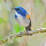Male Himalayan Bluetail Royalty Free Stock Image