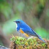 Male Himalayan Bluetail Stock Photo
