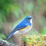 Male Himalayan Bluetail Stock Photos
