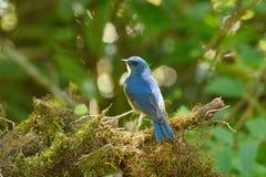 Male Himalayan Bluetail (Tarsiger rufilatus) Stock Photos