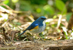 Male Himalayan Bluetail (Tarsiger rufilatus) Royalty Free Stock Image