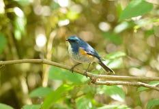 Male Himalayan Bluetail (Tarsiger rufilatus) Royalty Free Stock Photography