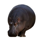Male hippopotamus Stock Images