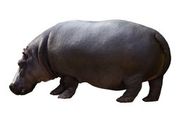 Male hippopotamus Royalty Free Stock Photography