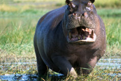 Male hippopotamus defending his ground Stock Photography