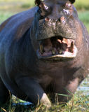 Male hippopotamus defending his ground Royalty Free Stock Image