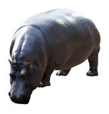 Male hippopotamus Royalty Free Stock Photography