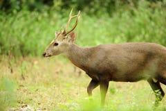 Male hjortar Arkivfoto