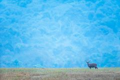 A male Hog deer relaxing in the grassland at dusk, beautiful blue mountains backgrounds. Phukhieo Wildlife Sanctuary, Thailand. Freedom life concept stock images