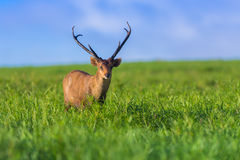 Male hog deer Stock Photos