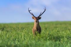 Male hog deer Stock Photography