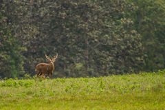 Male hog deer stand alone Stock Images