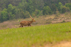 Male hog deer stand alone Stock Photo