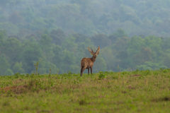 Male hog deer stand alone Stock Image