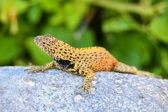 Male Hood lava lizard on Espanola Island, Galapagos National par Stock Images