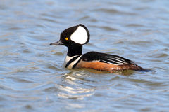 Male Hooded Merganser Royalty Free Stock Photography