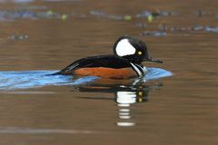 Male Hooded Merganser. (Lophodytes cucullatus) swimming in a lake Stock Photography