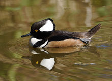 Male Hooded Merganser Stock Image