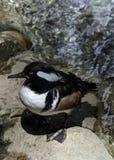 Male Hooded Merganser Duck. Close up detail of Merganser diving duck on rock Royalty Free Stock Photo