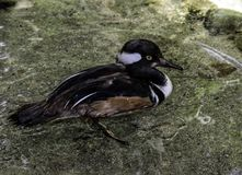 Male Hooded Merganser Duck. Close up detail of Merganser diving duck standing in water Royalty Free Stock Photography