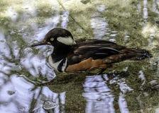 Male Hooded Merganser Duck. Close up detail of Merganser diving duck swimming Stock Photo