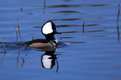 Male hooded merganser duck. At the Viera wetlands Stock Photos