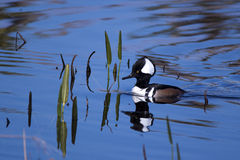 Male hooded merganser duck. At the Viera wetlands royalty free stock images