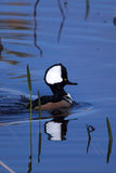 Male hooded merganser duck. At the Viera wetlands royalty free stock photo