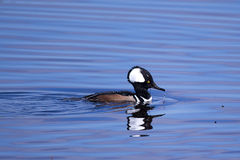 Male hooded merganser duck. At the Viera wetlands royalty free stock photos