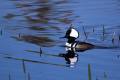 Male hooded merganser duck. At the Viera wetlands Stock Photo