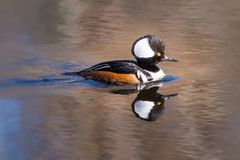 Male Hooded Merganser. Lophodytes cucullatus out for a swim on a warm late winter`s day in the Pacific Northwest Royalty Free Stock Photo