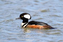 Male Hooded Merganser Stock Photo