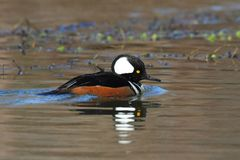 Male Hooded Merganser. (Lophodytes cucullatus) swimming in a lake Royalty Free Stock Photography