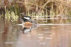 Male Hooded Merganser. & x28;Lophodytes cucullatus& x29; swimming in a lake Stock Images