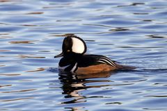 Male Hooded Merganser. A male hooded merganser  Lophodytes cucullatus swimming on a pond Stock Photography