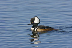 Male Hooded Merganser swimming. A brightly colored mae Hooded Merganser swims across the pond while displaying Royalty Free Stock Image