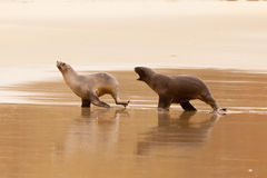 Male Hookers sealion chasing female in courtship Royalty Free Stock Photos