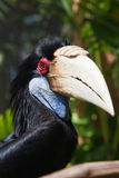 Male Hornbill Royalty Free Stock Photos