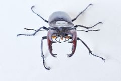 The male horned beetle deer. Stock Images