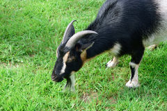 Male Horned Dwarf Goat. Nigerian dwarf goat in summer royalty free stock image
