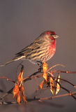 Male House Finch Stock Photos