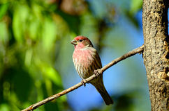 Free Male House Finch Stock Photography - 17883522